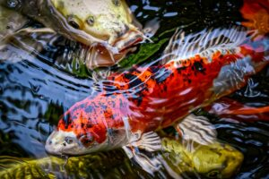 6 Pieces of Advice for Building a Koi Pond